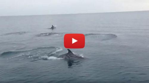 Palermo, gruppo di delfini da spettacolo nel mare di Capo Zafferano |IL VIDEO