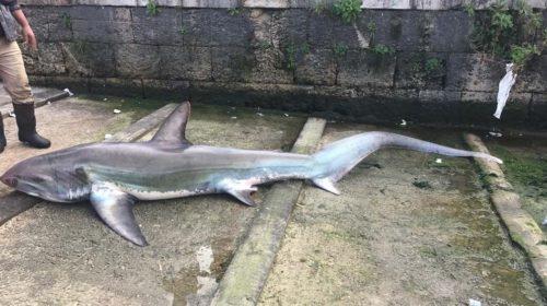 Squalo pescato a Castellammare del Golfo, decine di curiosi al porto  FOTO