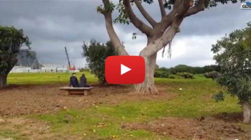 Al Foro Italico di Palermo al posto del ficus arrivano tre carrubi 🎥 VIDEO