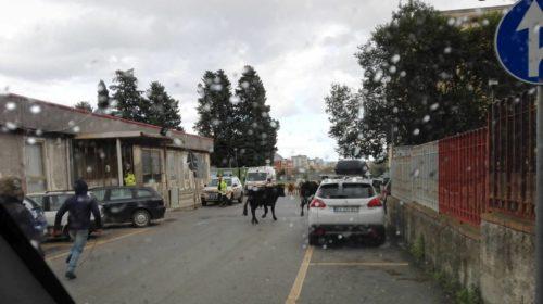 Palermo, un toro si aggira fra i viali dell'ospedale Cervello inseguito da personale e pazienti |FOTO