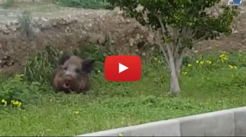Ecco il cinghiale che ha seminato il panico in una scuola di Palermo 🎥 VIDEO