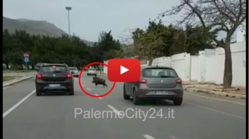 Palermo, Cinghiale corre in via dell'Olimpo tra le auto e taglia la strada a una vettura 😱 VIDEO 🎥