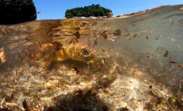 Santa Flavia, dopo le cure due tartarughe Caretta caretta ritrovano il mare 🎥 IL VIDEO