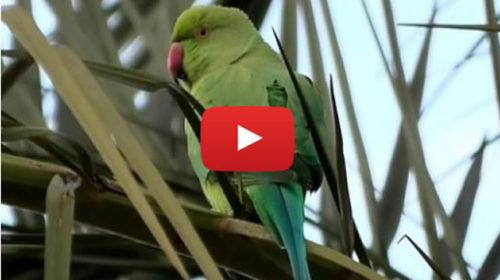 """Palermo sempre più tropicale, cielo """"invaso"""" da migliaia di pappagalli – IL VIDEO 🎥"""