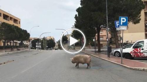Nel centro di Termini Imerese (PA) non circola nessuno, nemmeno un cane, solo un maiale | VIDEO 📹