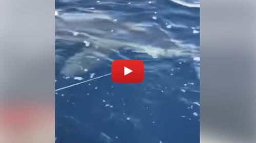 Sicilia, enorme squalo a pochi metri dalla spiaggia di Milazzo 📹 VIDEO