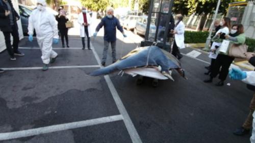 La manta da 400 chili trovata alla Cala, esami in corso all'istituto zooprofilattico (VIDEO e FOTO)