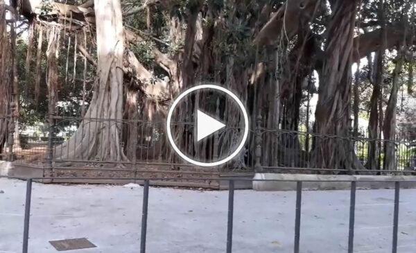 """Rimossa la passerella dello storico Ficus di piazza Marina a Palermo: """"Finalmente restituito il decoro"""" – VIDEO"""