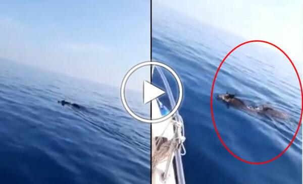 Marzamemi, due cinghiali nuotano 5 miglia al largo: da dove arrivano? – VIDEO
