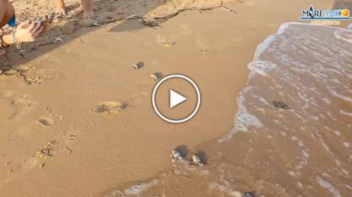 Scala dei Turchi, schiuse 74 uova di tartarughe Caretta Caretta tra la felicità e l'emozione dei bagnanti – VIDEO